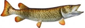 42-inch muskie 640