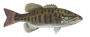 smallmouth_bass-22